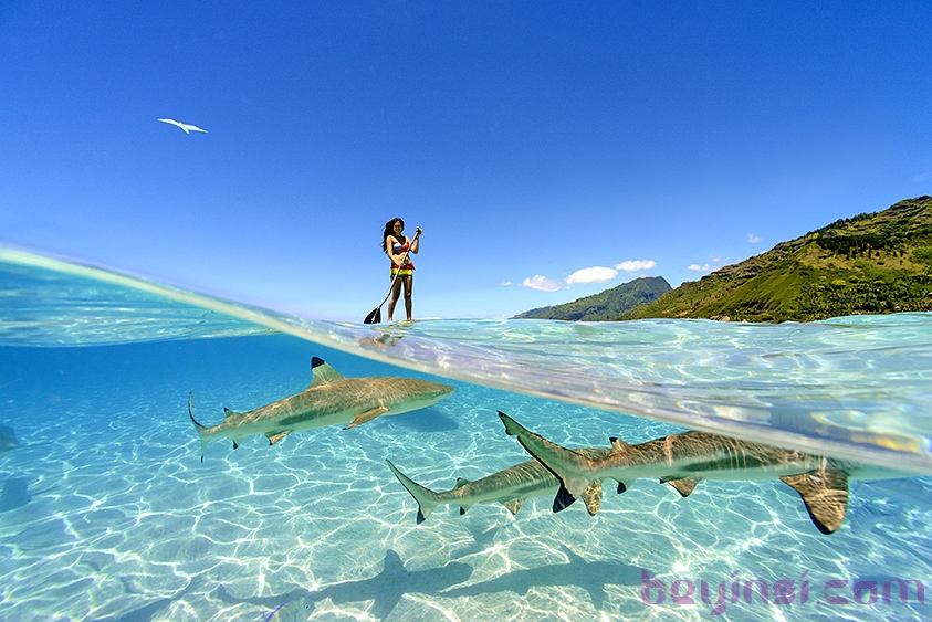 Standup paddling with the wildlife of Moorea, French Polynesia